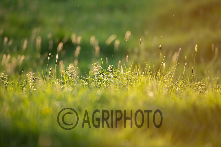 Grass pasture with nettles photographed on a Spring evening <br /> Picture Tim Scrivener 07850 303986