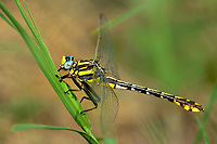 334070015 a wild female plains clubtail dragonfly gomphus externus perches on a grass stem at hornsby bend travis county texas