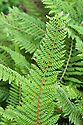 Polystichum setiferum (Divisilobum Group), mid August. commonly known as the Soft shield fern.