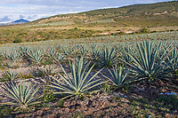 Matatlan, Oaxaca, Mexico.  A Field of Maguey Plants, a Variety of Agave, used to Produce Mezcal, an Alcoholic Liquor.