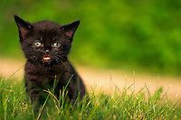 Portrait of a black domestic shorthair kitten.