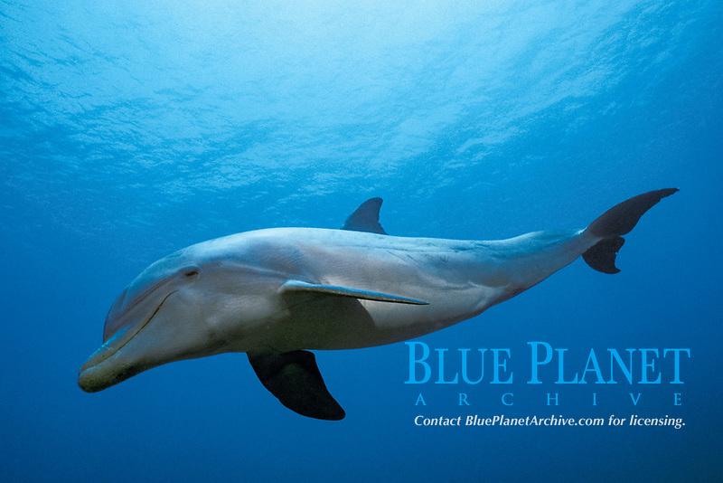 JoJo, a wild, sociable, ambassador dolphin, common bottlenose dolphin, Tursiops truncatus, Turks and Caicos Islands, Caribbean Sea, Atlantic Ocean
