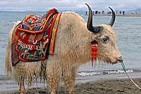 Animal Yak no Lago Nam Tso Lake. Tibet. China. 2007. Foto de Caio Vilela.