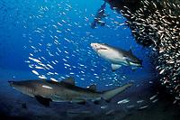 sand tiger sharks, Carcharias taurus (formerly Odontaspis/ Eugomophodus) wreck of the Papoose, N. Carolina, Atlantic Ocean