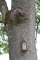 Katze klettert an einem Baumstamm hoch an einen Nistkasten, Hauskatze will Vogel-Nistkasten ausräumen