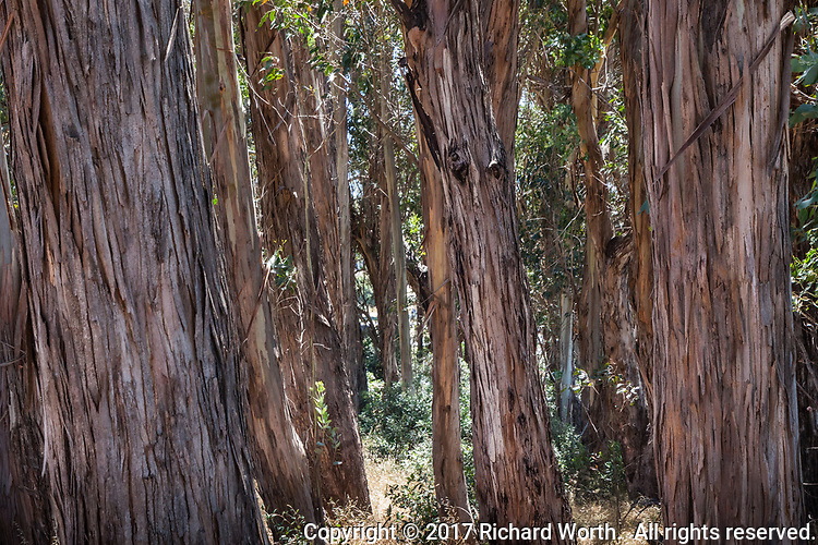 Eucalyptus trees stand as mute reminders of when, a century ago, Point Pinole hosted dynamite manufacturers who planted the trees to muffle explosions.