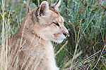 A profile portrait of a Puma sitting on a hillside in Patagonia, Chile.