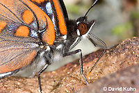 """0704-0807  Close-up of White Admiral Butterfly """"Details of Proboscis Drinking Moisture from Animal Feces"""", Limenitis arthemis """"Northeast United States Form""""  © David Kuhn/Dwight Kuhn Photography"""
