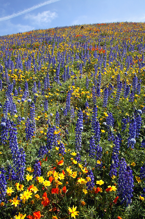 Wildflowers near Gorman, California.
