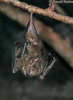 0211-08rr  Seba's Short-tailed Bat, Carollia perspicillata © David Kuhn/Dwight Kuhn Photography