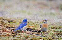 Pair of Western Bluebirds (female on right).  Columbia River Gorge National Scenic Area, WA.  Early spring.