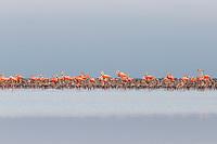 American Flamingo (Phoenicopterus ruber) colony . Rio Lagartos Biosphere Reserve, Mexico. July.