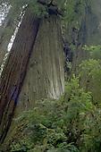 Giant Redwoods Nestled
