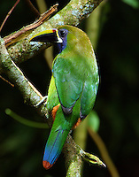 Emerald toucanet. These birds were regularly seen feeding in the fruiting trees along the Savegre River and in the adjacent woods. This bird flew up and landed close to me in a ravine close to the river.