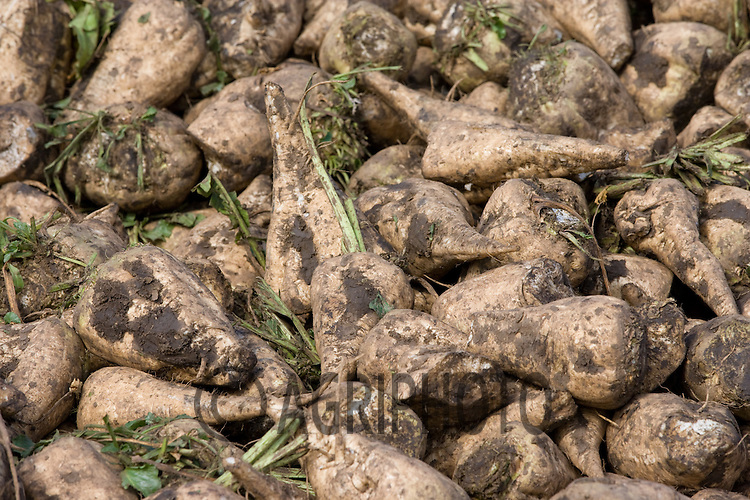 A heap of sugar beet in the Lincolnshire fens.Picture Tim Scrivener date taken 21st September  2011 .mobile 07850 303986 e-mail tim@agriphoto.com.....covering Agriculture in The United Kingdom.....