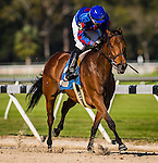 OLDSMAR, FL - JANUARY 21: No Fault of Mine #3 (blue cap), ridden by Daniel Centeno, leads down the final stretch and wins the Wayward Lass Stakes, on Skyway Festival Day at Tampa Bay Downs on January 21, 2017 in Oldsmar, Florida. (Photo by Douglas DeFelice/Eclipse Sportswire/Getty Images)