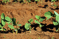 BRASILIEN, Bundesstaat Sao Paulo , auf riesigen landwirtschaftlichen Flaechen wird Soja fuer Export als Viehfutter angebaut, junge Soja Pflanzen/ Brazil, state Sao Paulo, cultivation of soybeans for export as animal fodder, young soybean plant