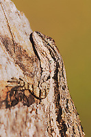 Tree Lizard, Urosaurus ornatus, adult on log camouflaged, Uvalde County, Hill Country, Texas, USA, April 2006