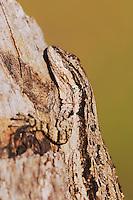 Tree Lizard, Urosaurus ornatus, adult on log camouflaged, Uvalde County, Hill Country, Texas, USA, April 2006