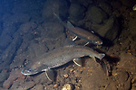 Lake Trout spawning, 2 shot, Lake Winnisquam, NH.  This fish only spawns at night and deposits its' eggs and sperm in the middle of the water column on shallow boulder reefs.