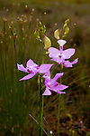 Grass Pink (Calopogon tuberosus) at Corea Heath in Sullivan, ME, USA