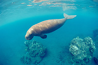 dugong or sea cow, Dugong dugon, ( Indo-Pacific Ocean )