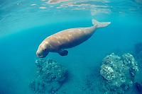 dugong or sea cow, Dugong dugon, (Indo-Pacific Ocean)