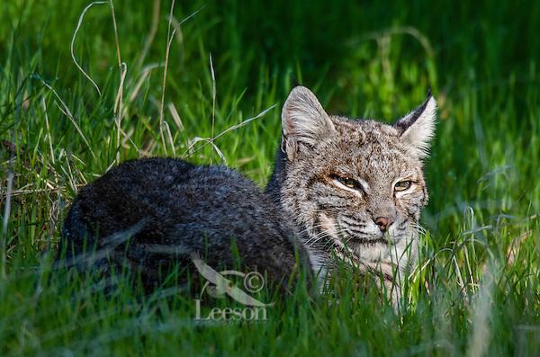 Wild Bobcat (Lynx rufus) resting in grass on hillside in oak woodlands habitat, Central California.  December.  (Completely wild, non-captive cat.)