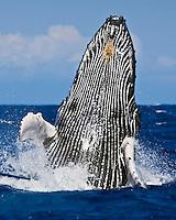 Humpback whale (Megaptera novaeangliae) breaching near Hawai'i