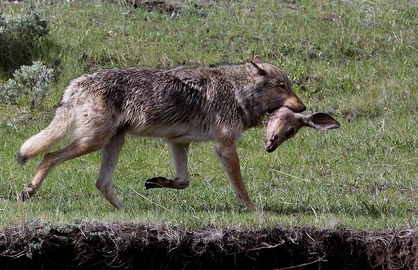 wolf carring deer head, YNP