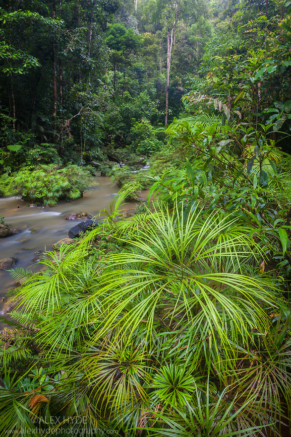Riverine Fern {Dipteris lobbiana} growing along the edge of a tributary of the Maliau River. Souhern Plateau of Maliau Basin, Sabah's 'Lost World', Borneo.