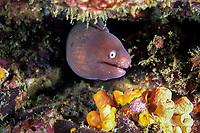 white-eyed moray eel, Siderea thyrsoidea, Similan Islands, Thailand, Andaman Sea, Indian Ocean