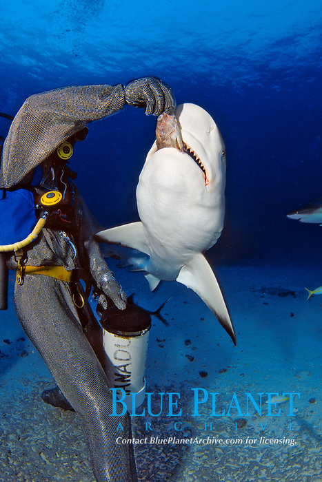 This diver (MR) in a full chain mail suit, is hand feeding Caribbean Reef Sharks, Carcharhinus perezii, off Freeport, Bahamas, Caribbean, Atlantic