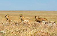 A female Lion, Panthera leo  melanochaita, with two cubs in Serengeti National Park, Tanzania