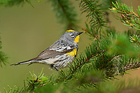 Yellow-rumped Warbler (Dendroica coronata), Western U.S., summer.