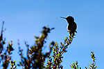 Allen's Hummingbird 1, Upper Newport Bay, CA