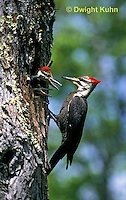 1P06-003z  Pileated Woodpecker - feeding young - Dryocopus pileatus or Hylatomus pileatus
