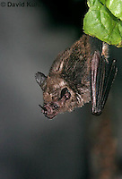 0211-08oo  Seba's Short-tailed Bat, Carollia perspicillata © David Kuhn/Dwight Kuhn Photography