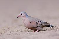 Adult male Common Ground-Dove (Columbina passerina). Hidalgo County, Texas. March.