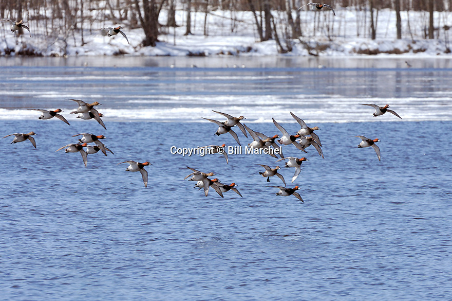 00290-007.07 Canvasback Duck flock and some redheads in flight over partially frozen water.  Fly, action, waterfowl, hunt.