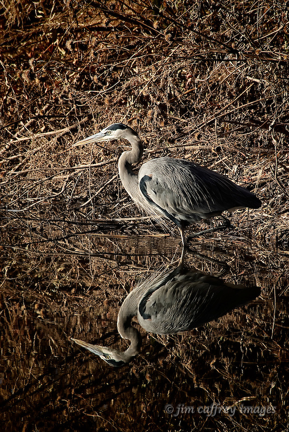 A Great Blue Heron wading in a diversion channel and casting a perfect reflection at Bosque del Apache National Wildlife Refuge in south-central New Mexico.