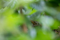 Amsel, Schwarzdrossel, Weibchen im Nest, brütend, Brut, Amselnest, versteckt in einer Gartenhecke, Hainbuchenhecke, Turdus merula, Blackbird, female, Merle noir