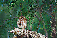 Ferruginous Pygmy-Owl, Glaucidium brasilianum, adult perched, Willacy County, Rio Grande Valley, Texas, USA