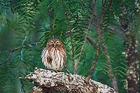 Ferruginous Pygmy-Owl, Glaucidium brasilianum, adult perched, Willacy County, Rio Grande Valley, Texas, USA