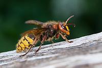 Hornisse, Hornissen, Vespa crabro, hornet, hornets, brown hornet, European hornet, Le frelon européen