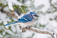 Blue Jay (Cyanocitta cristata) in winter snowfall. Nova Scotia, Canada.