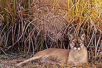 Florida Panther (Puma concolor coryi), Florida, endangered species.