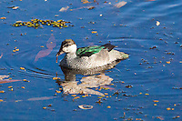 Green Pygmy-Goose, Yellow Water, Kakadu NP, NT, Australia