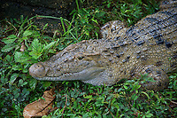 Salt Water Crocodile Palawan