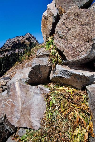 Pika near its haypile--winter food supply.  Subalpine rockpile, Pacific Northwest.  Sept.
